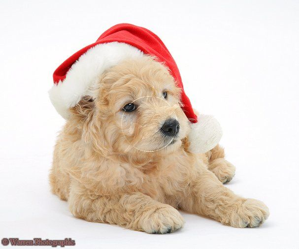 Miniature Goldendoodle puppy wearing a Santa hat