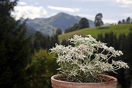 Edlweiss, Alpenblumen, Blumen