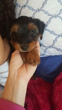 Yorkshire Terrier Puppy For Sale In Rochester Mn Adn 34877 On