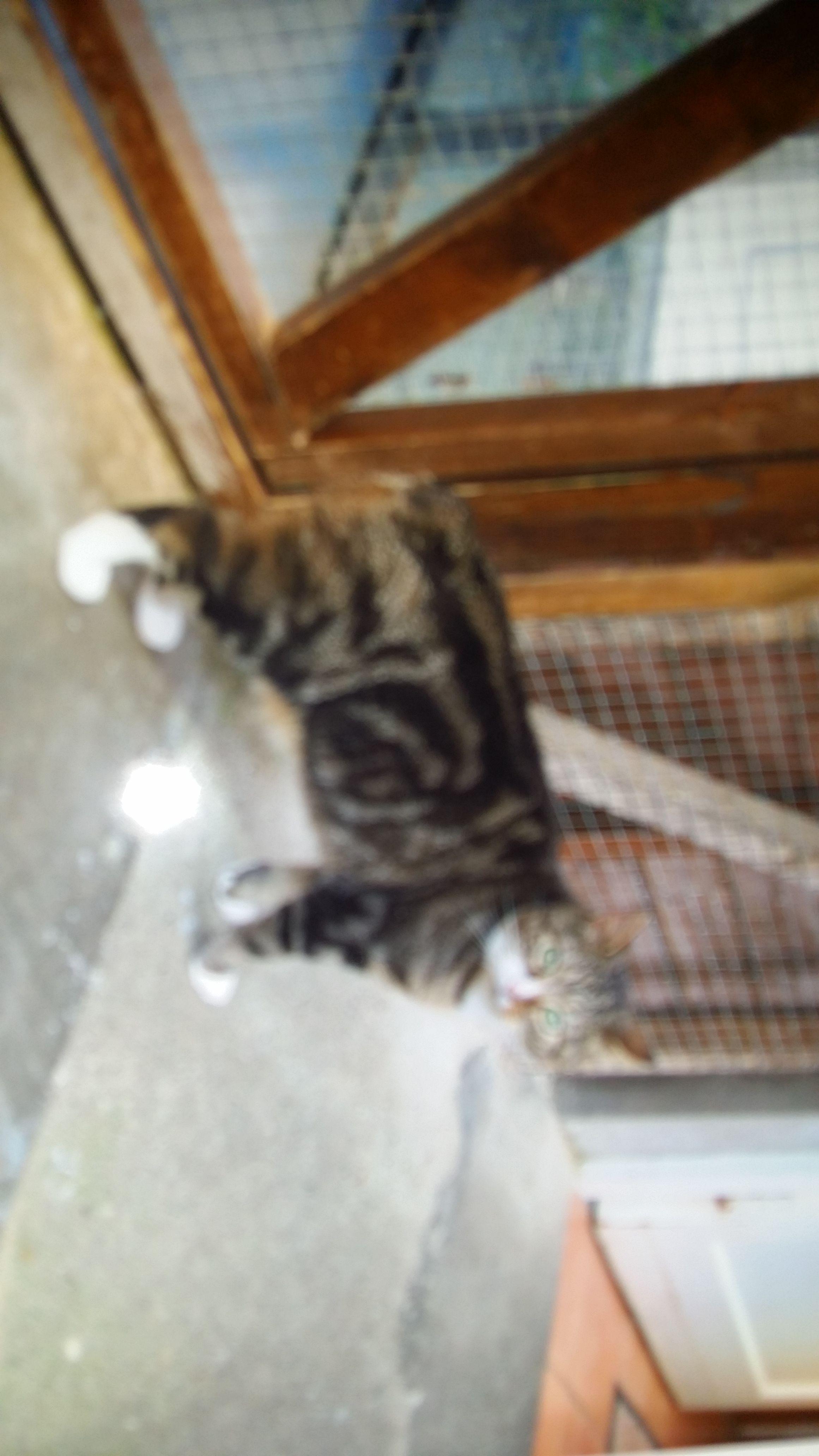 The Manx Cat From The Isle Of Man Manx Cat Cats Manx