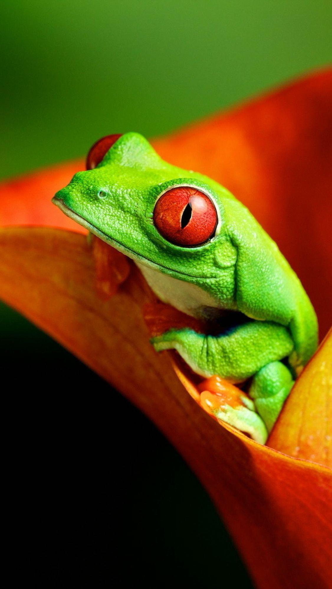きれいなカエルiphone壁紙 Wallpaper Red Eyed Tree Frog Frog