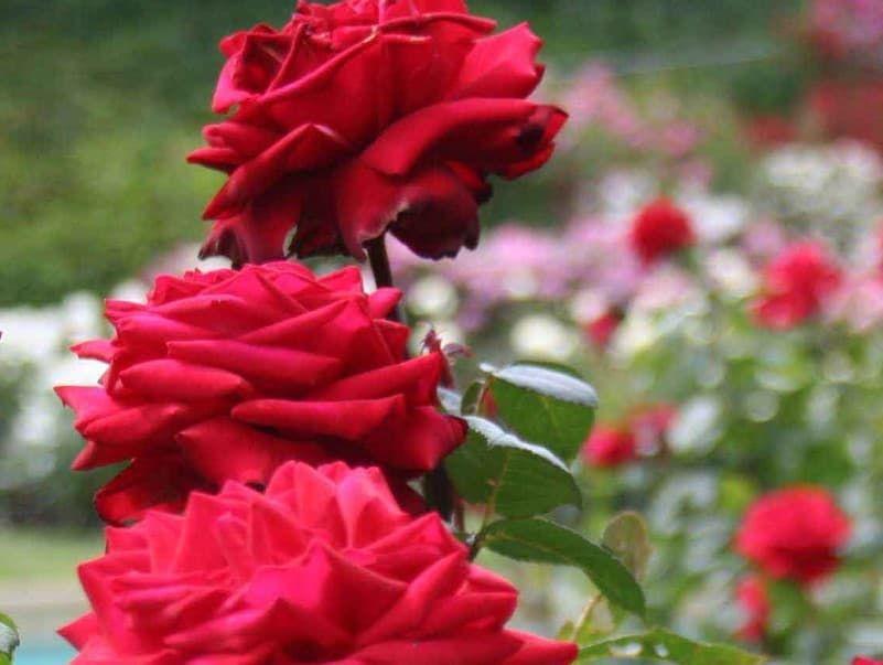 Poto Gambar Bunga Mawar Merah 40 Gambar Bunga Cantik Indah Bagus Comel Foto Wallpaper Hd 50 Gambar Bunga Mawar Ungu Merah Maw Di 2020 Mawar Cantik Bunga Mawar Ungu