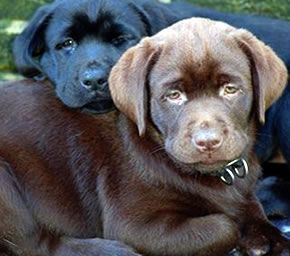 Dutchlabs Labradors Nl Labrador Dog Pictures Cute Animals