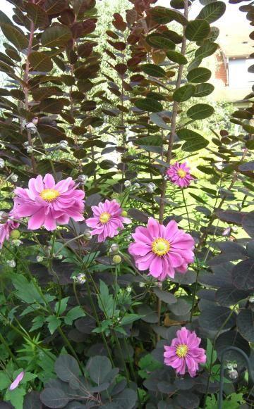 Herbst Anemonen Pflanzen Pflegen Vermehren Garten And Gardens