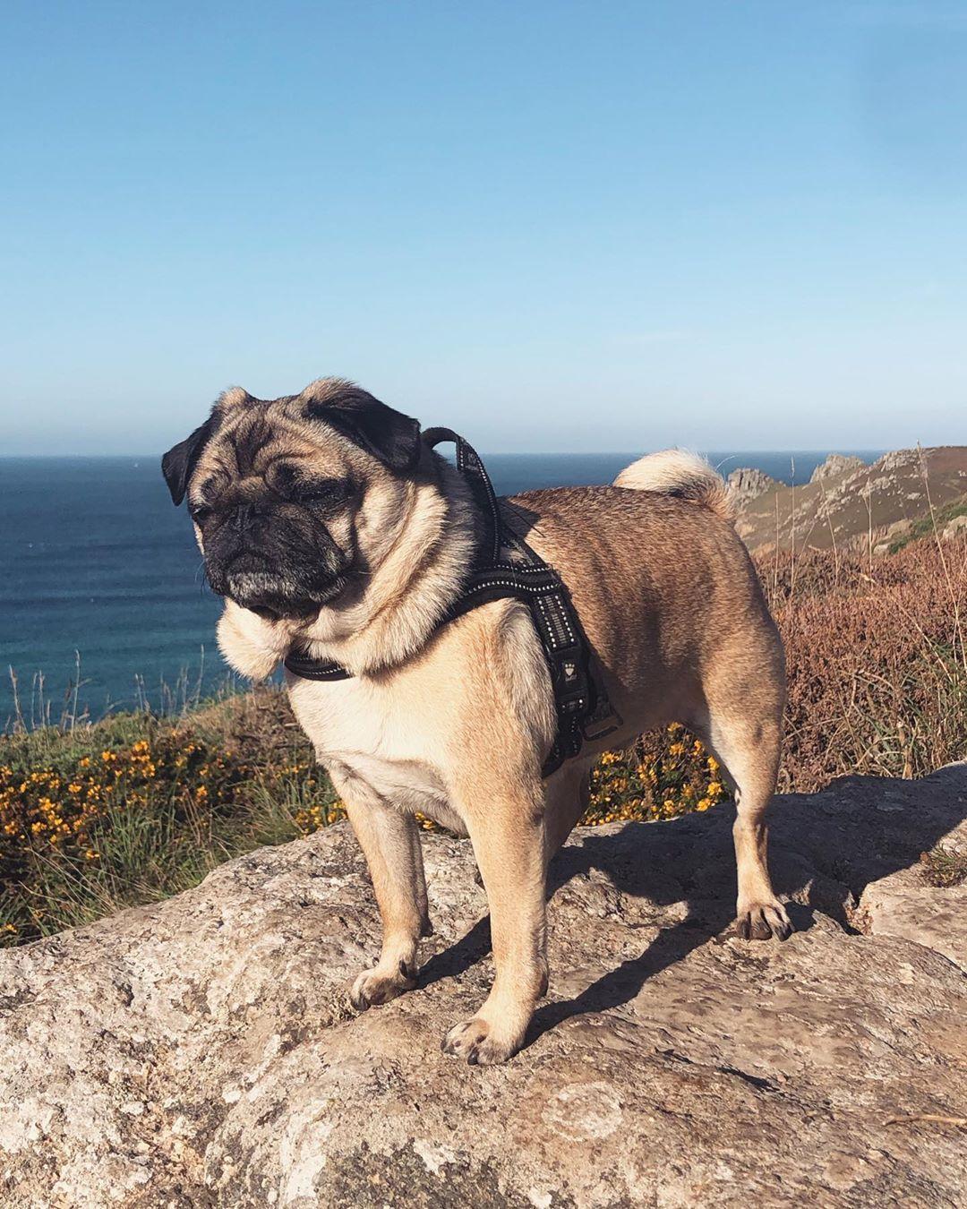Neck Chub For Daysss Pugsofinstagram Pug Cornwall