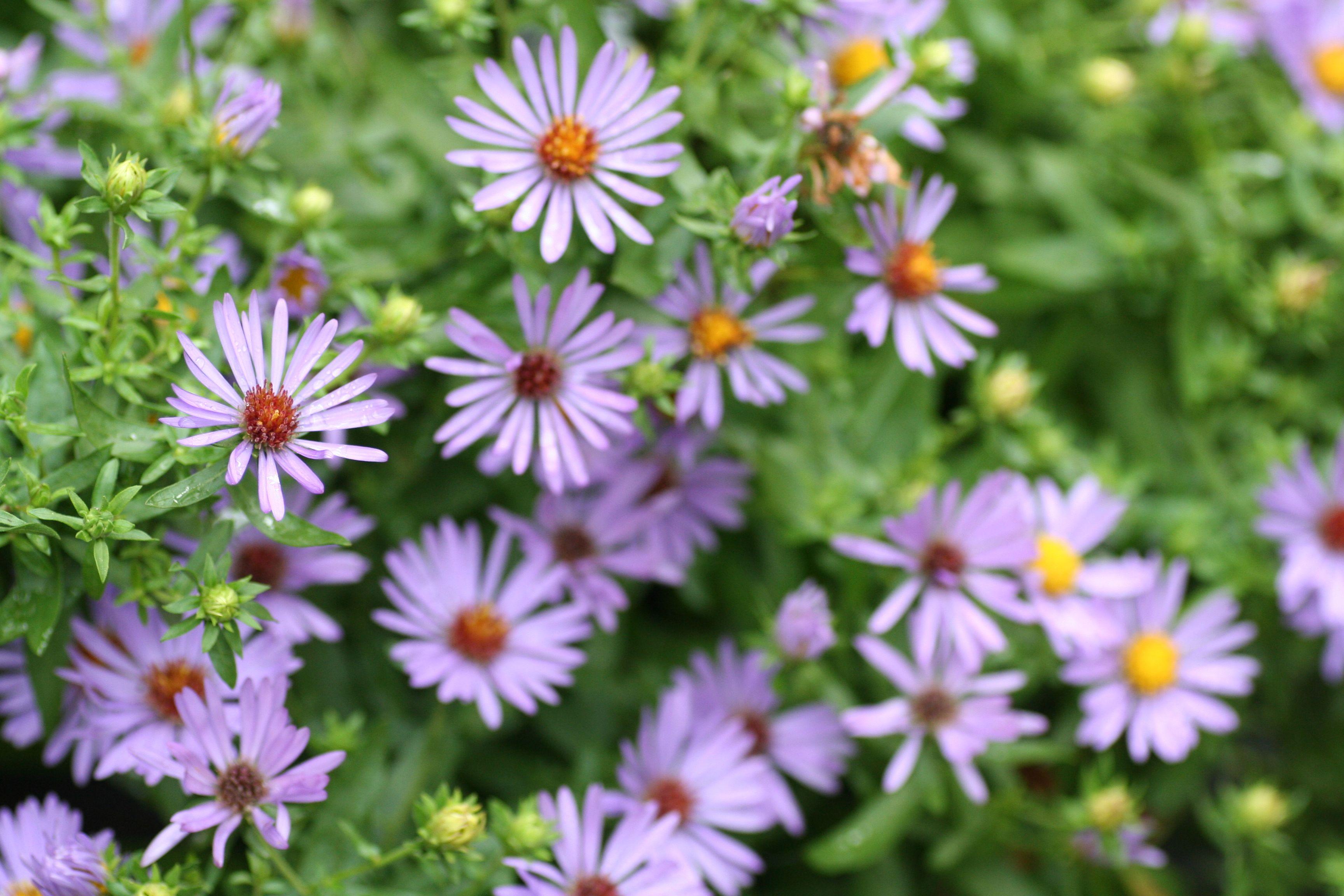 Flowers For Honey Bees Late Summer Flowers Summer Flowers Garden Bees Plants