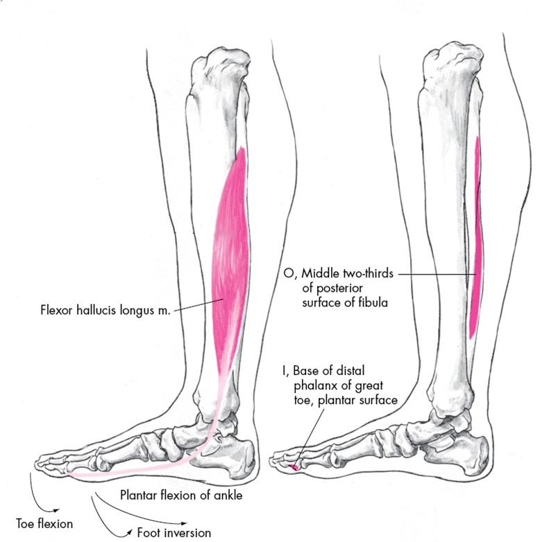 Flexor Hallucis Longus Origin And Insertion   Med school   Pinterest