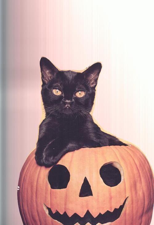 Kitty in a Jack O Lantern cat kitten kitty pumpkin halloween pumpkins halloween jack o lantern happy halloween halloween images jack o lantern black cat