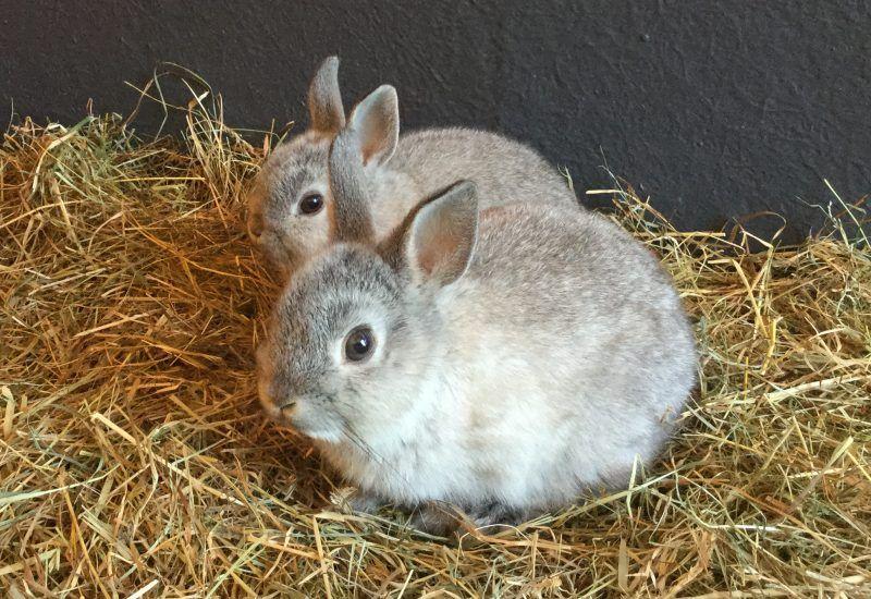 Bryn Dai Deri Eldyr Glenn Rspca Radcliffe Animal Centre Animals Netherland Dwarf Bunny