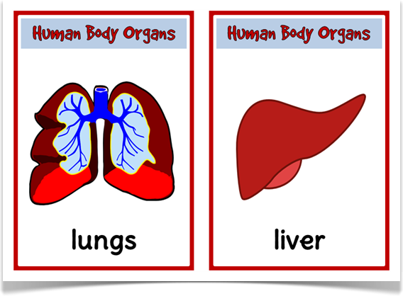 Human organs picture cards treetop displays a unique set of 16 human organs picture cards treetop displays a unique set of 16 a5 picture cards ccuart Image collections