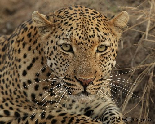 Staring into the eyes of an apex predator Wild cats
