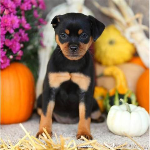 Mini Rottweiler Puppy How Cute I 3 Animals And Other Things