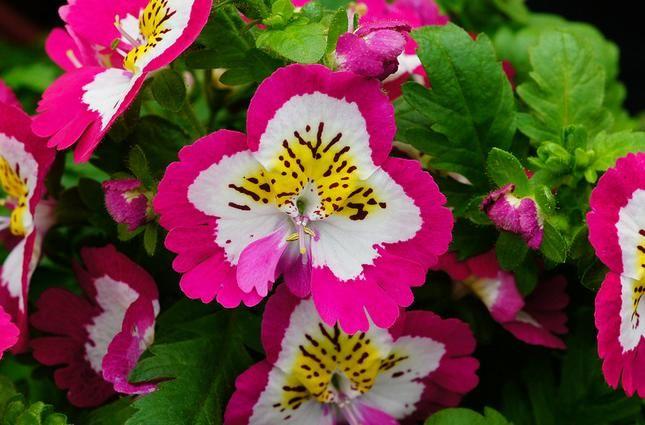 Schizanthus Flower  For More.. http://flowerhomes.blogspot.com https://facebook.com/flowerofworld https://www.facebook.com/groups/170649729805645/