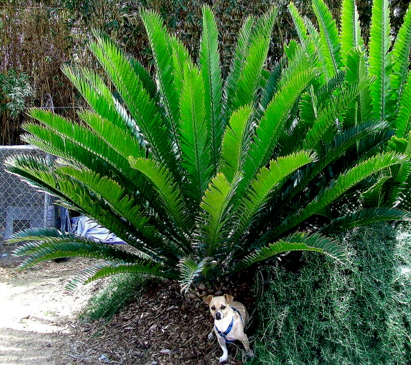 Cycads Look Like Ferns And Palms But They Re Not Really Related