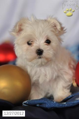 Jaylene Maltese Puppy For Sale In Millersburg Oh Maltese