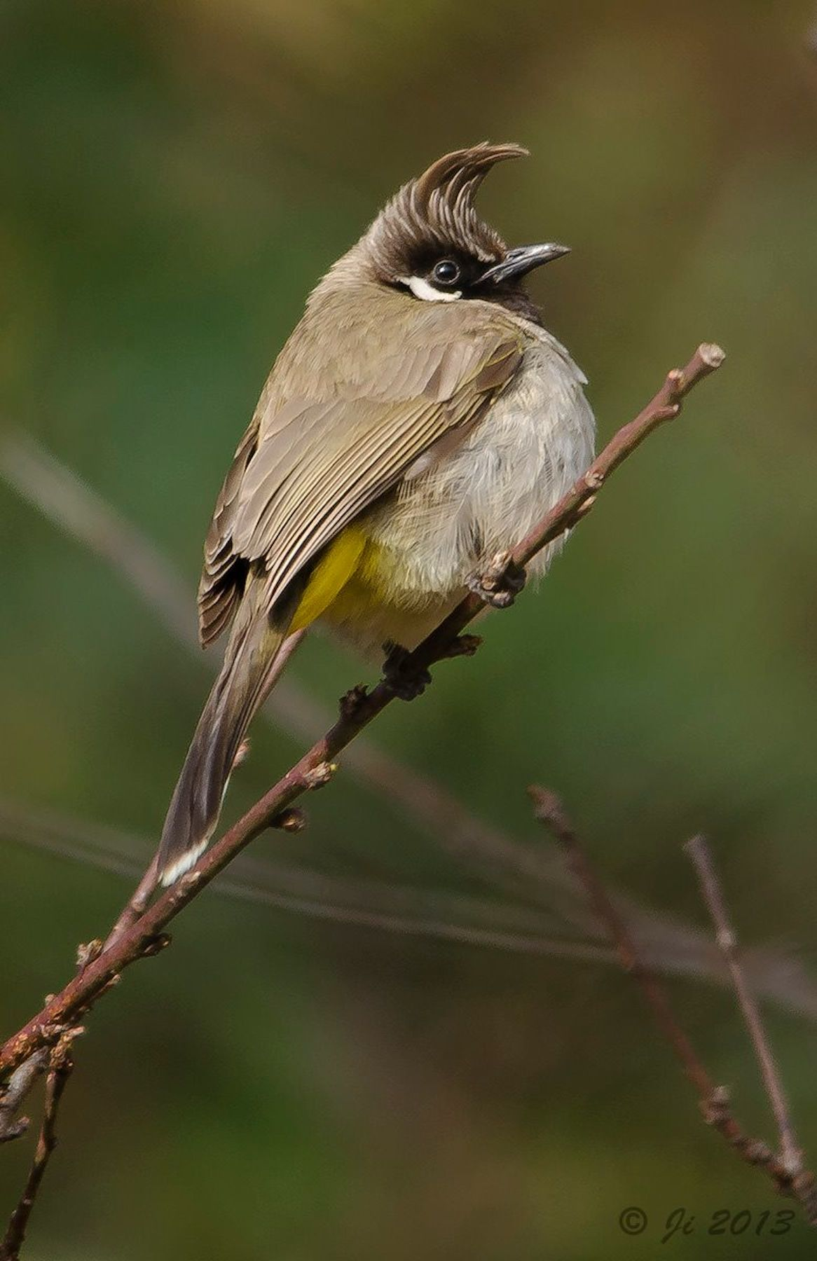 the himalayan bulbul pycnonotus leucogenys v gel pinterest vogel kleine v gel und. Black Bedroom Furniture Sets. Home Design Ideas