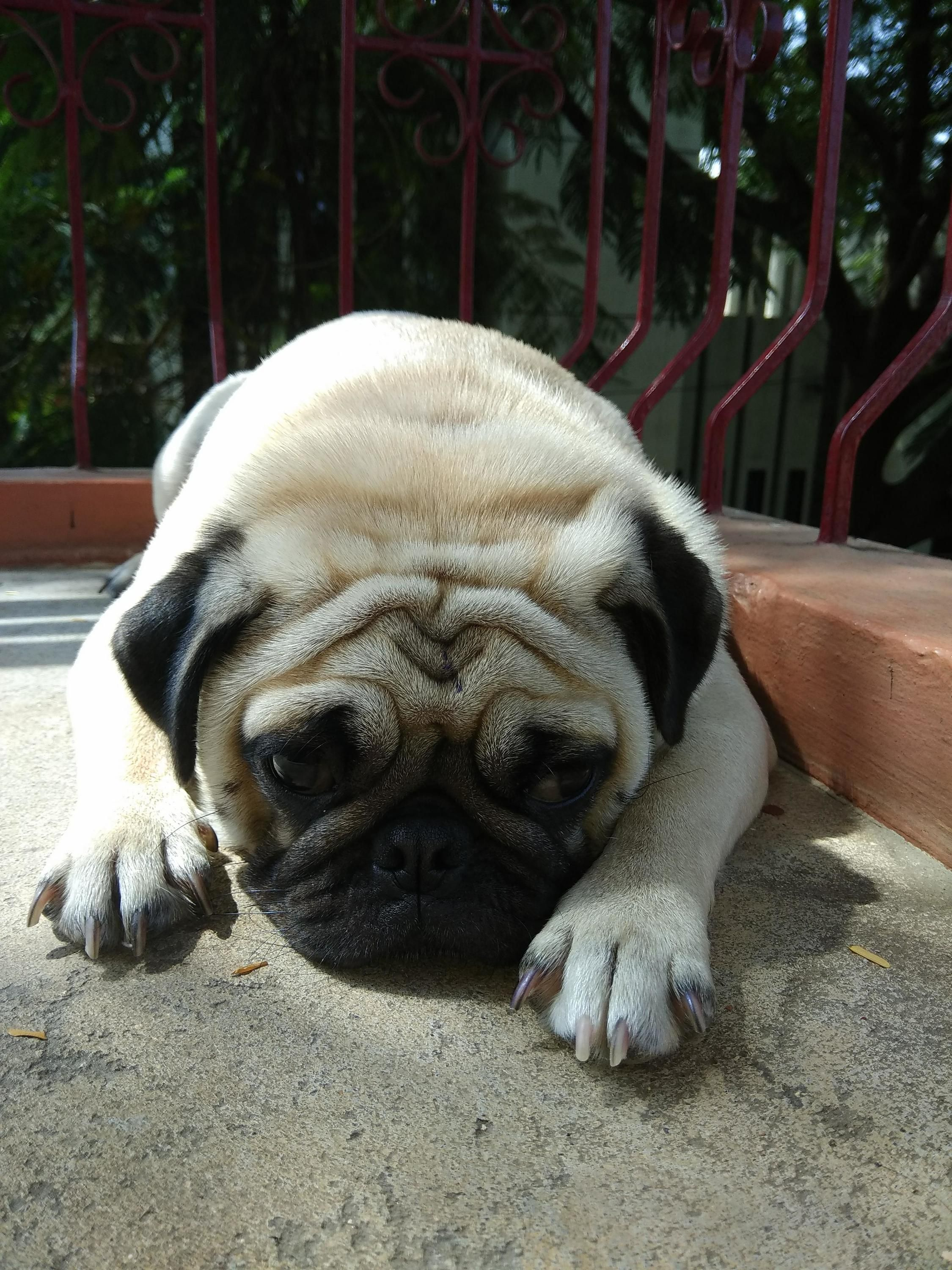 Pin On Best Of Pug S Home