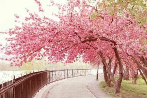 Un Sakura Son Tan Preciosos Blossom Trees Tree Photography Sakura Tree