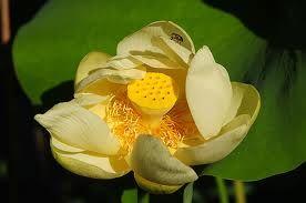 Types Of Lotus Flower Worldwide Kamala Lotus Lily Flowers