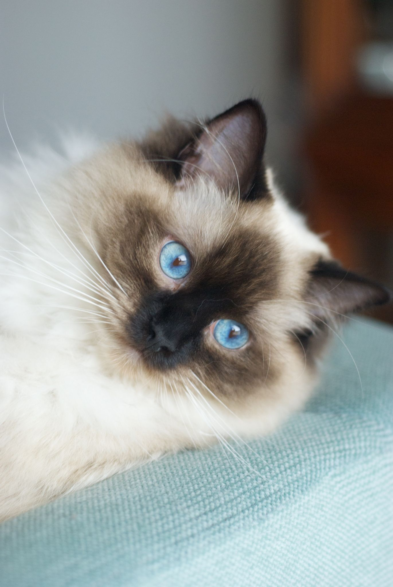 Nala | Ragdoll cats, Big blue eyes and Blue eyes