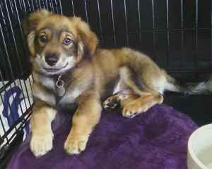 Adopt Duncan On Cockapoo Dog Cockapoo Puppies Cute Dogs