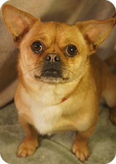 Chihuahua Pug Mix Pug Chihuahua Mix Dog For Adoption In