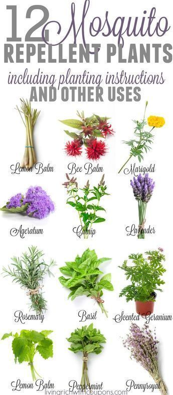 12 Awesome Mosquito Repellent Plants That Will Make You Go Outside Again