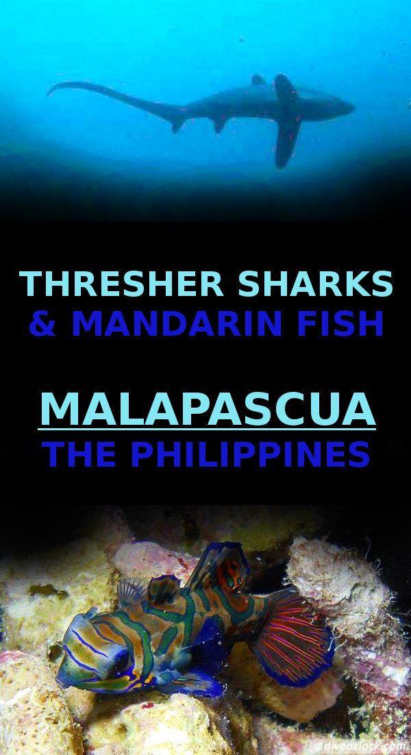 Philippines Dive Magazine: Thresher Sharks & Mandarin Fish At Malapascua Island, The