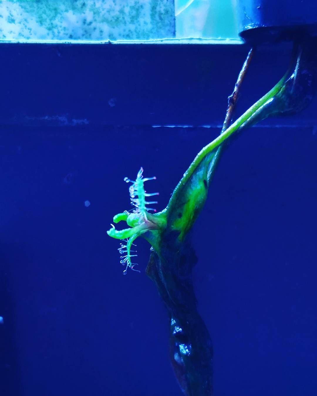 Drosera adelae root plantlet by dozer1028