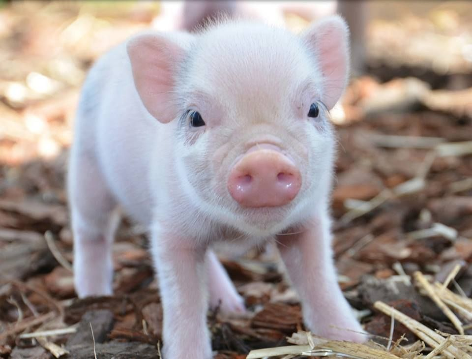 Pin by Jessi Garzón on Mini Pigs | Pinterest | Mini pigs ...