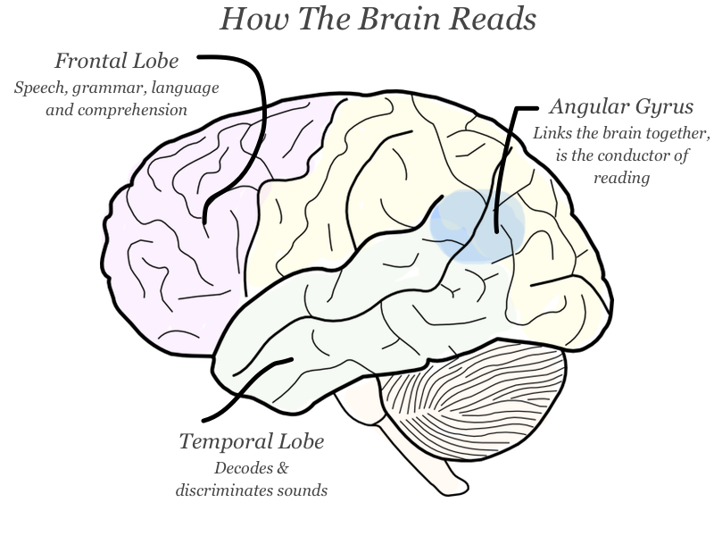 Image result for reading brain