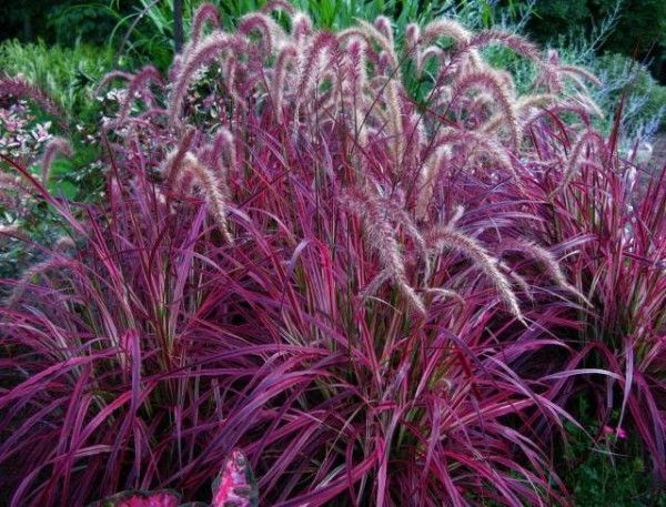 Perennial fountain grass budget red fountain grass for Red perennial grass
