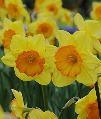 Narcisos Daffodil