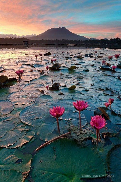 Lotus waterlily pond