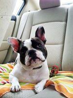 French Bulldog French bulldog, French bulldog rescue