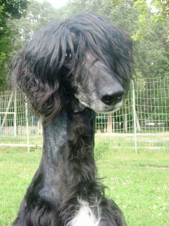 Afghan With A Haircut Afghan Hound Hound Most Beautiful Dogs