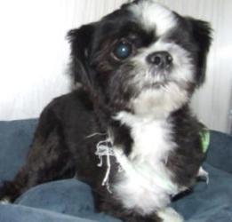 Adopt Mason on Pets, Dogs, Shih tzu dog