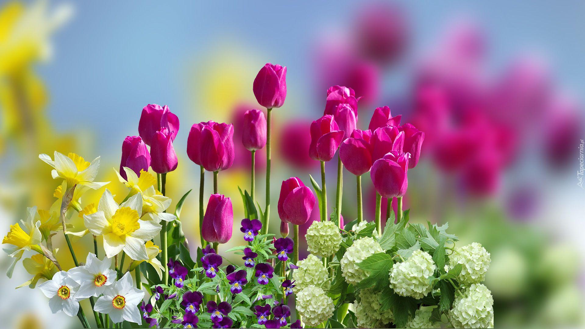 Kwiaty Tulipany Narcyzy Bratki Kalina Koralowa Roseum Rozmycie Plants Grapes