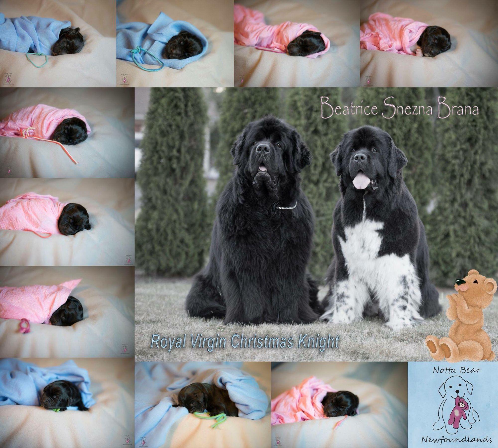 Notta Bear Newfoundlands Puppy Litter Photo Puppy Litter Pregnant Dog Whelping Puppies
