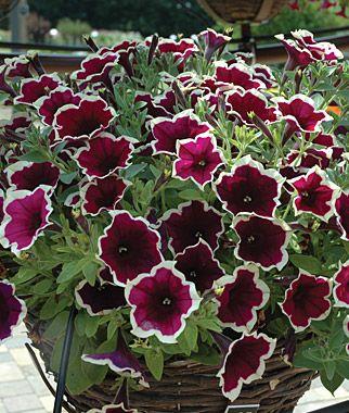 Petunia Cascadia Rim Magenta Petunias At Burpee Com Petunia Flower Flower Seeds Petunia Plant