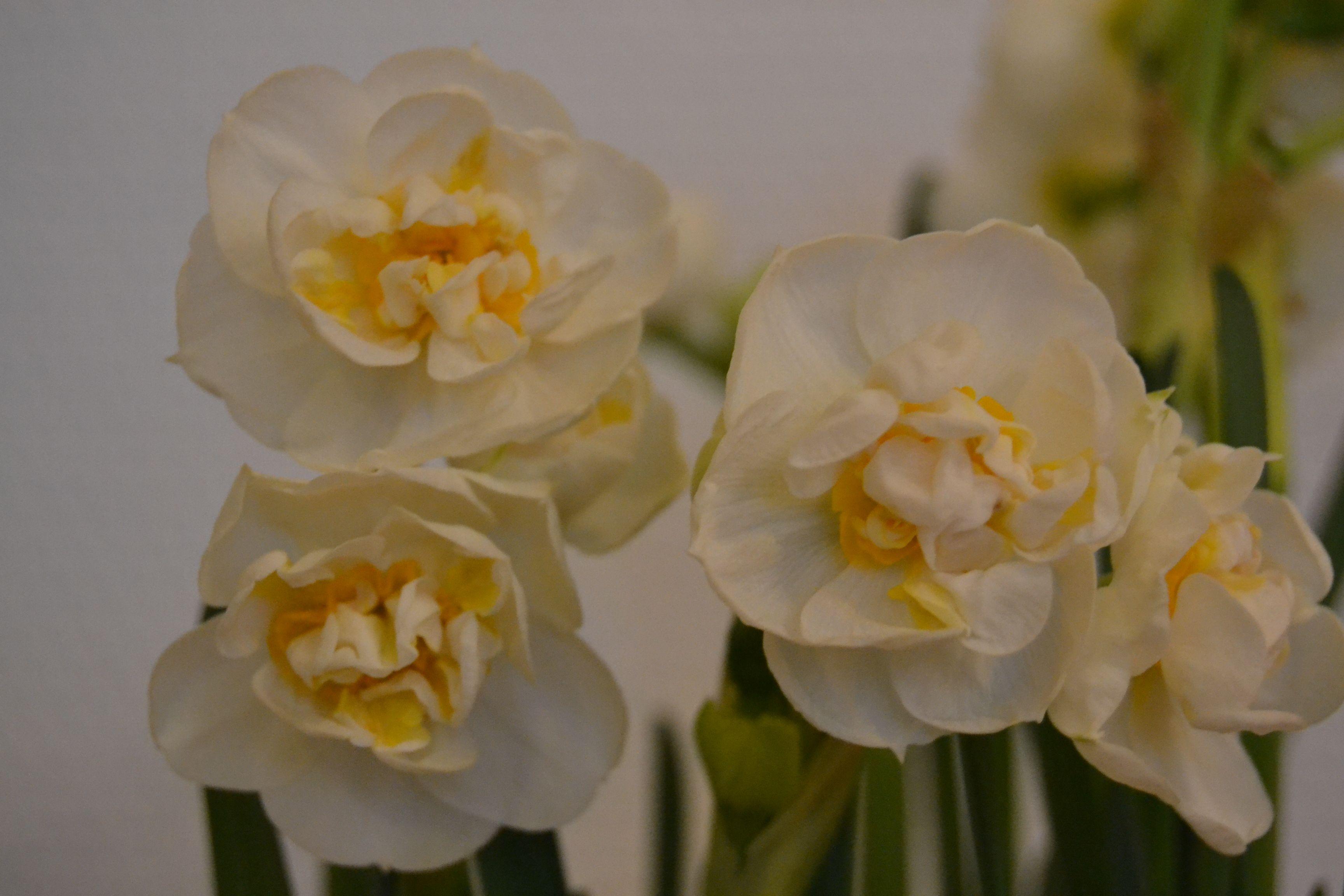 Kevät on ihanaa aikaa...kukat <3