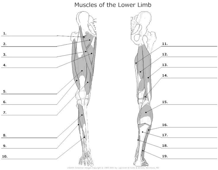 diagram of lower limb muscle