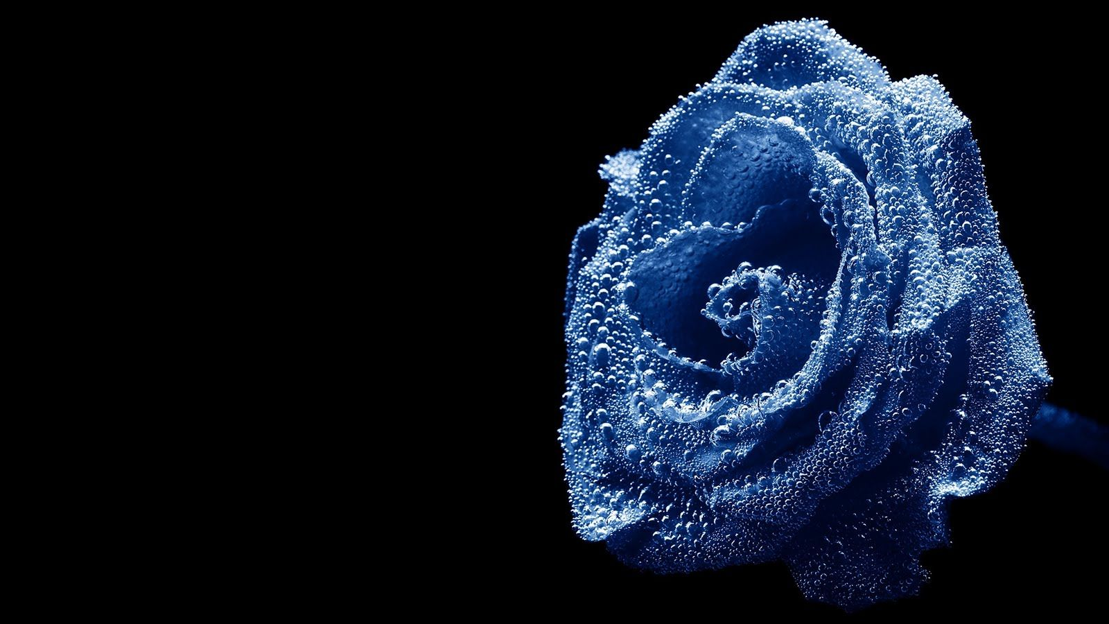 blue roses | blue rose hd wallpaper water drops over beautiful blue