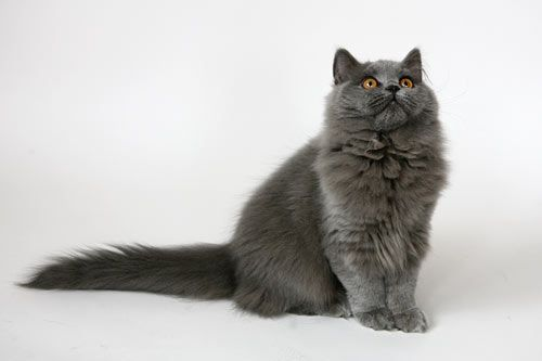 Long Haired British Blue Cats British Longhair Lilo Pet With