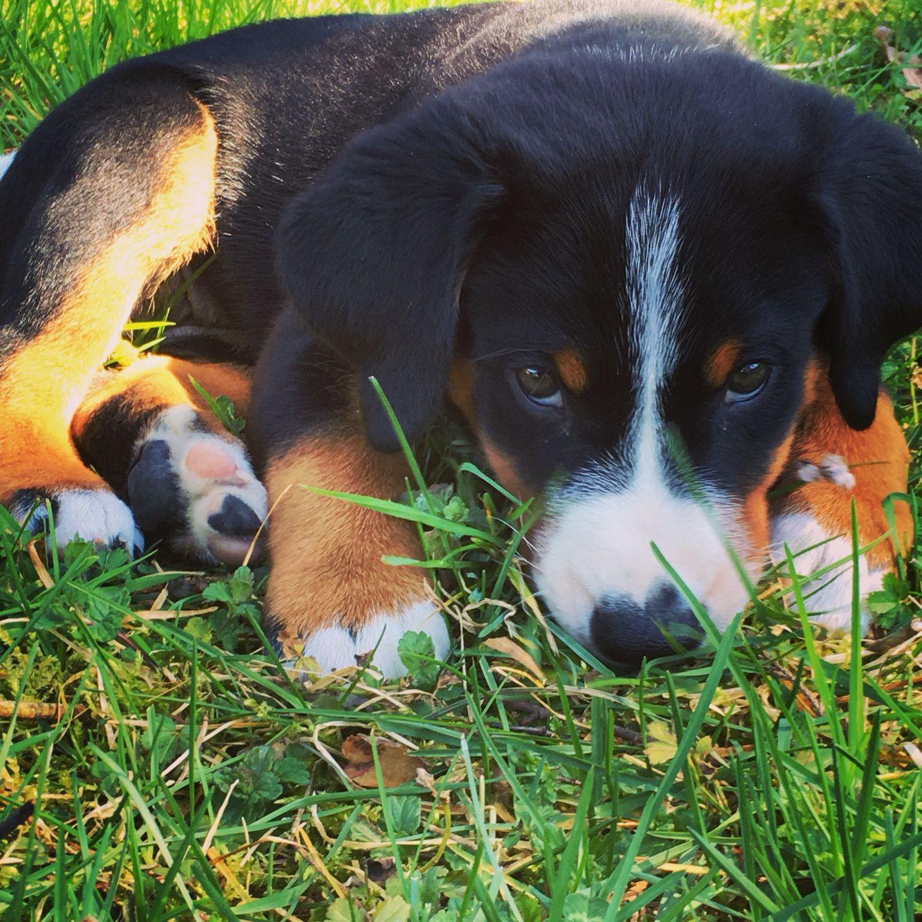 Appenzeller Sennenhund Cute Puppy Sennenhund Hunde Entlebucher