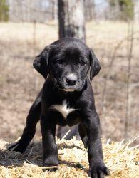 Black Labrador Retriever Dog Black Lab Puppies Lab Puppies