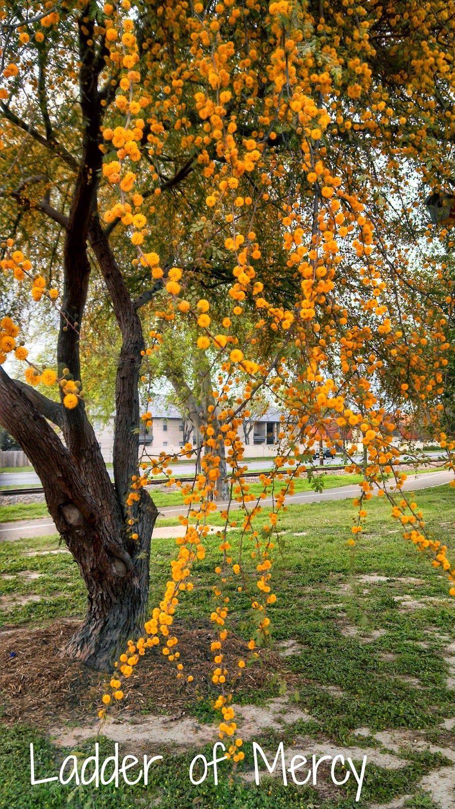 Ladder of Mercy: Huisache, Acacia farnesiana | Ladder of Mercy ...