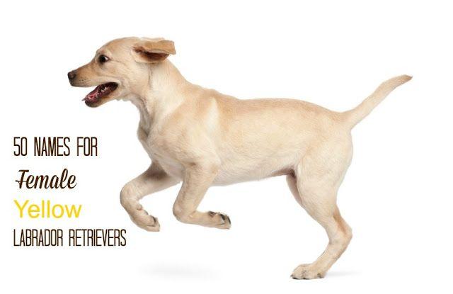 The Modern Bark Dog Training Tips 50 Names For Female Yellow Labrador Retrievers M Probiotics For Dogs Dog Probiotics Yellow Labrador Retriever