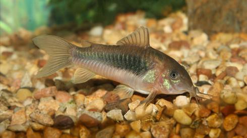 Aquarium fish Cat fish - Cory cat