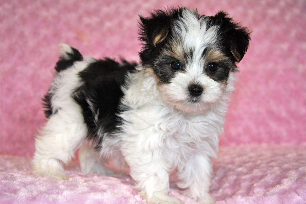 Tri Colored Morkie Maltese Yorkshire Terrier Dyr